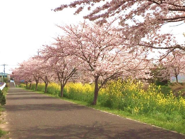 ウォーキング途中の桜